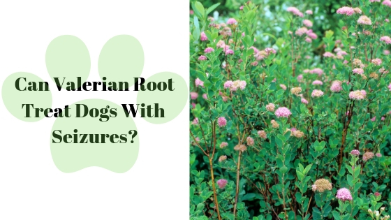 Can Valerian Root Treat Dogs With Seizures?