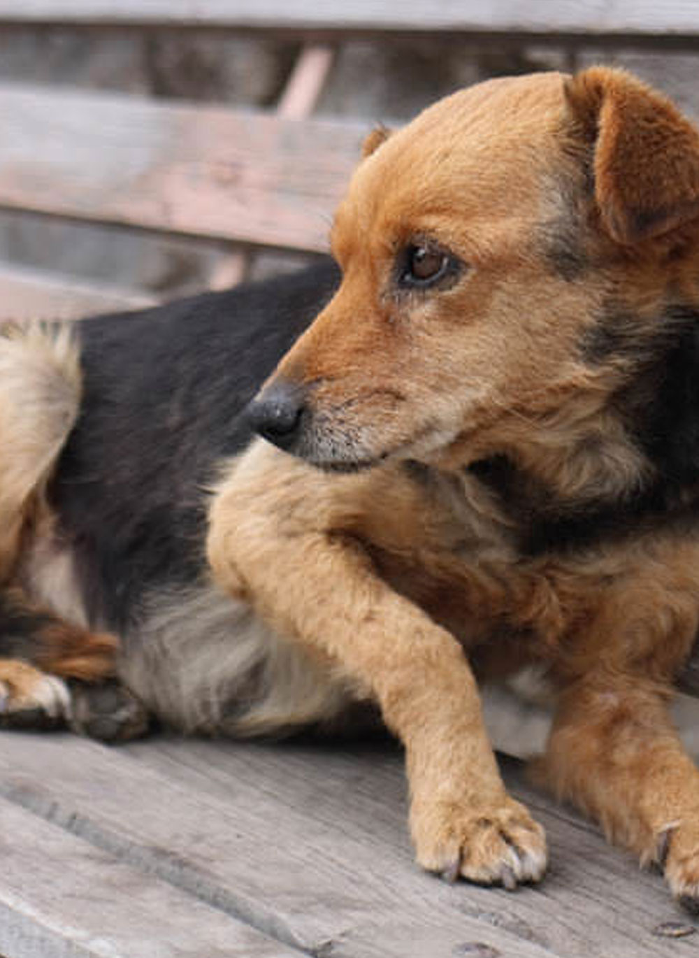 diet for canine cushings and liver disease